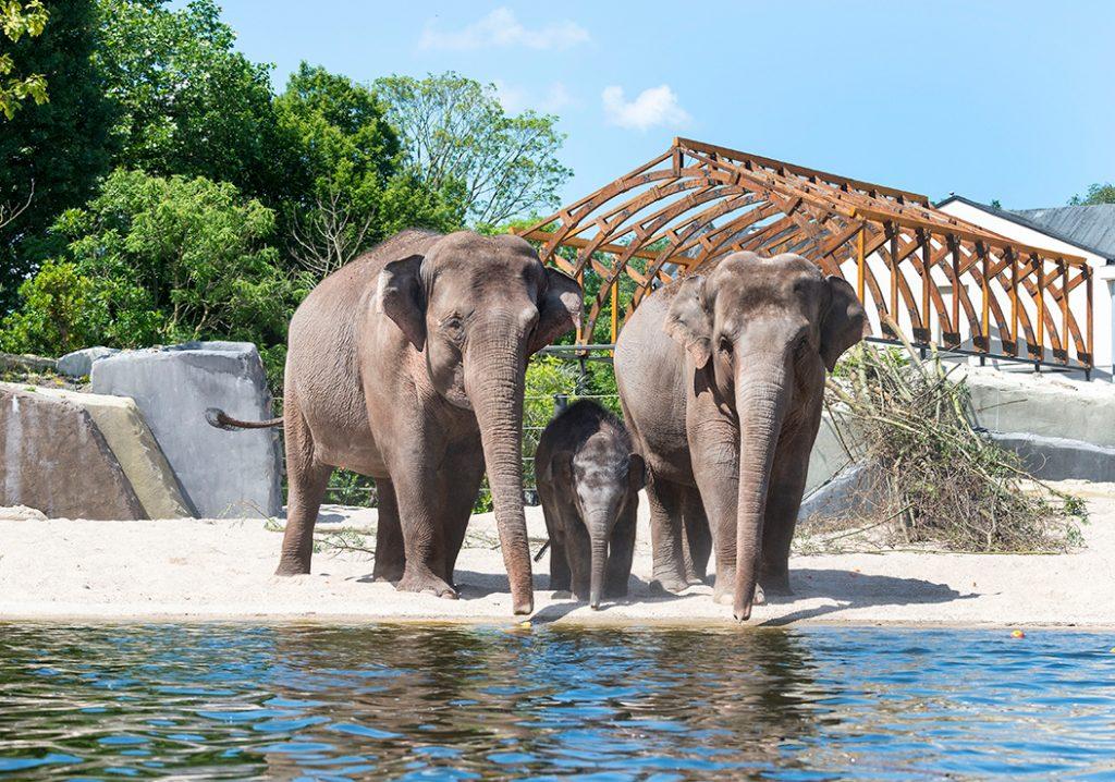 olifant artis