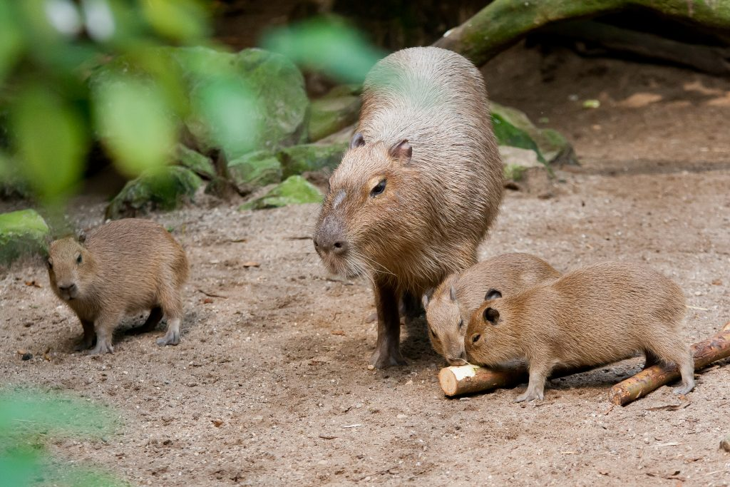 capibara burgers zoo
