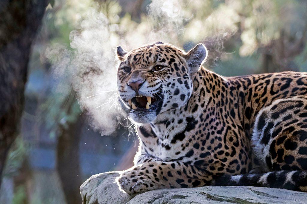 bekijk jaguar in Artis