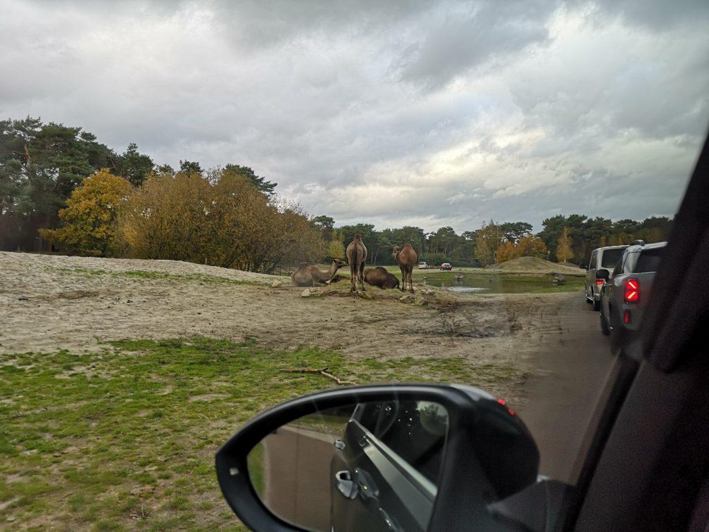 kamelen autosafari beekse bergen
