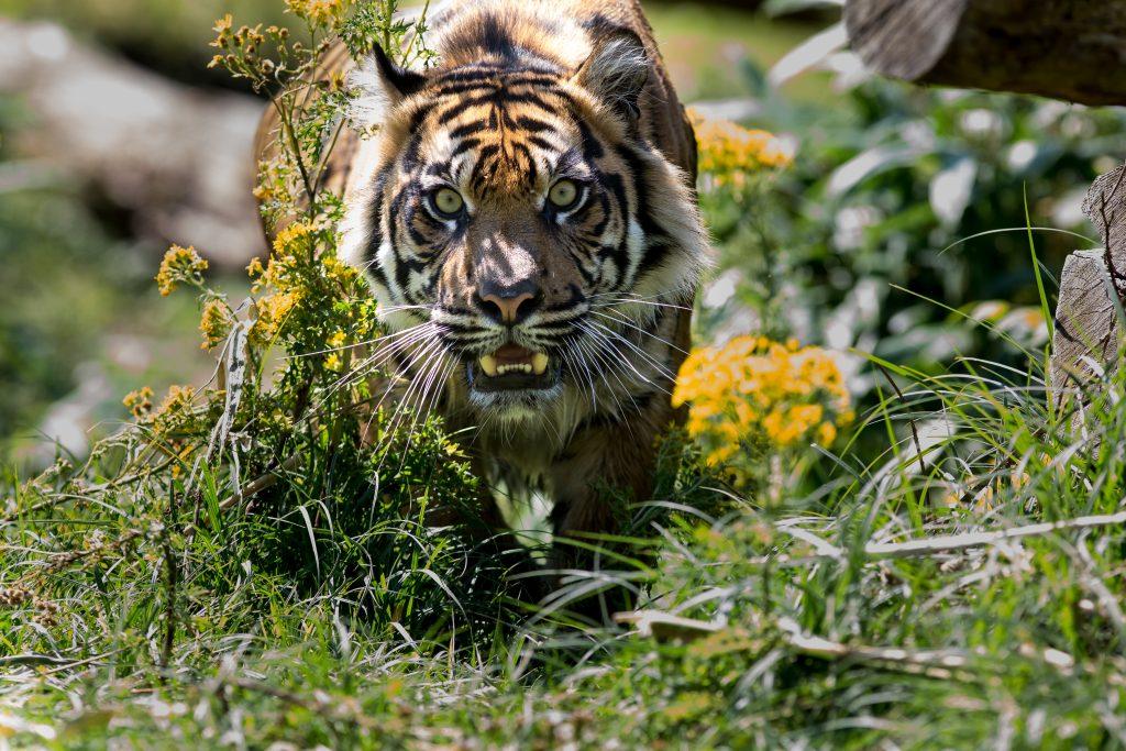 burgers zoo tijger