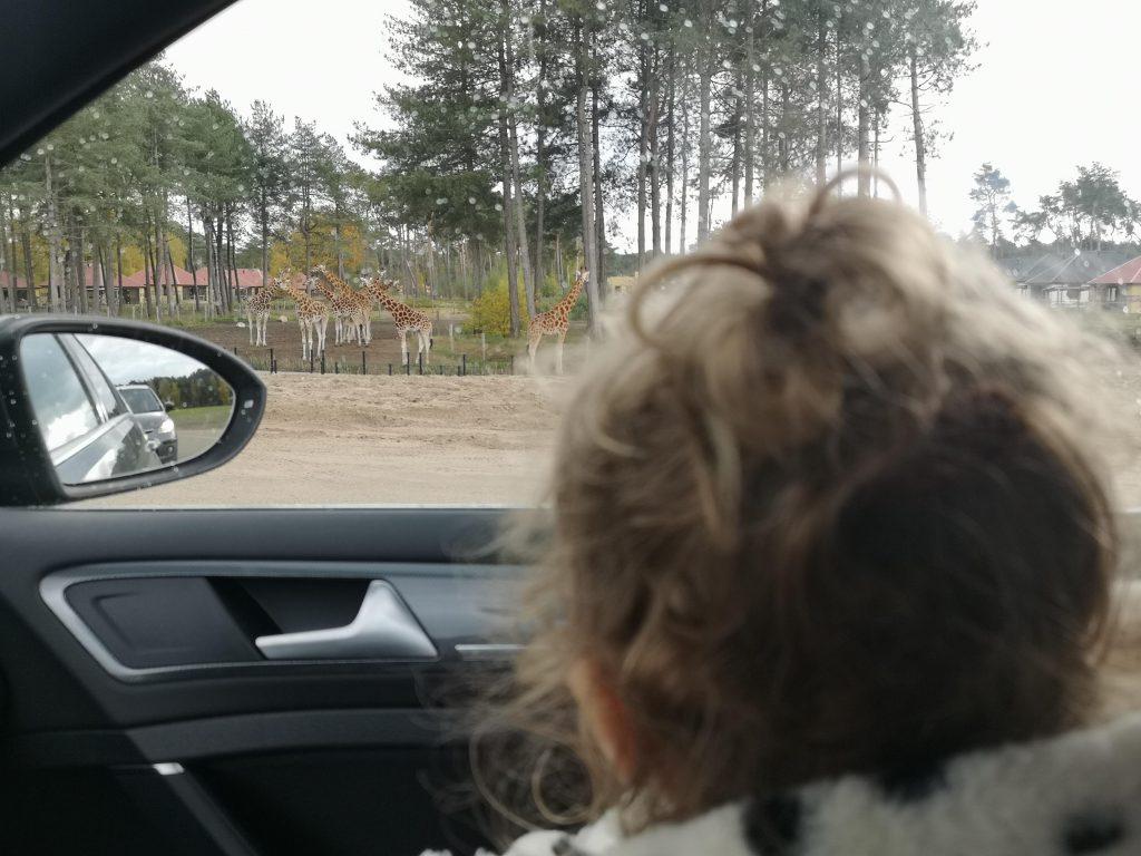 giraffe kijken uit auto tijdens safari