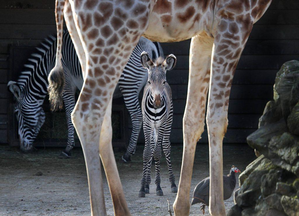 zebra artis