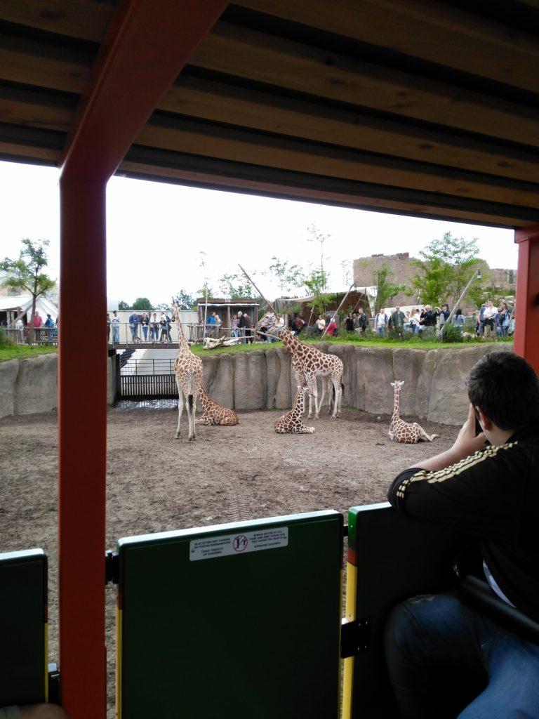 serenga safari wildlands giraffe