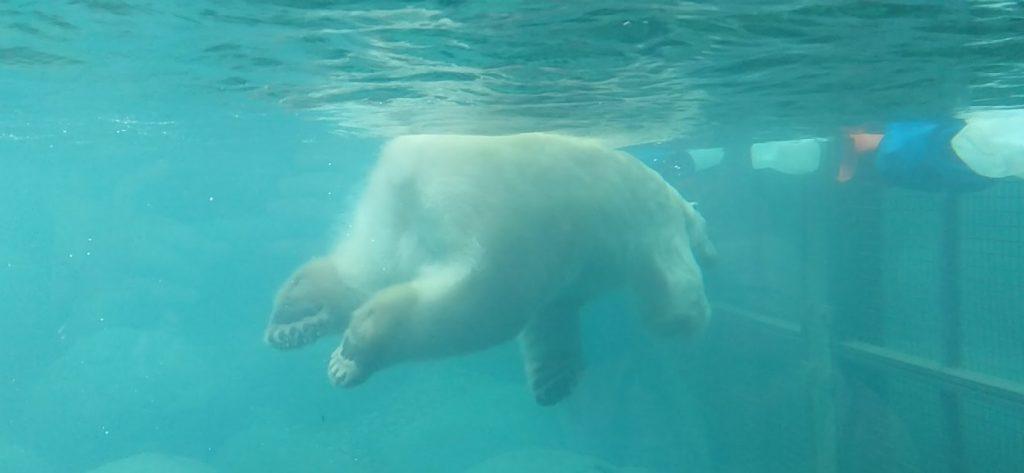 ijsberen kijken dierentuin emmen