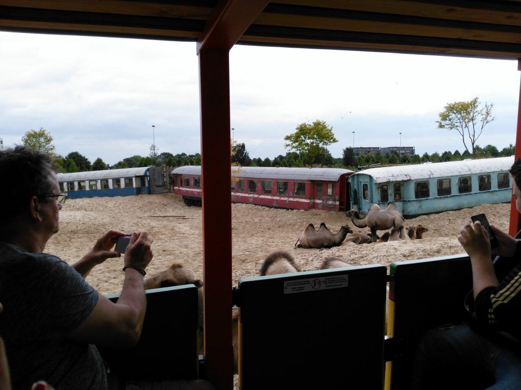 kamelen serenga safari wildlands